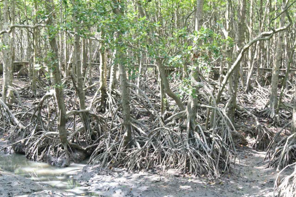 大地に根を張るマングローブ