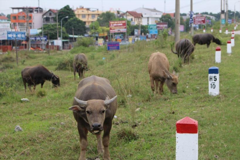 草を食む水牛の群れも